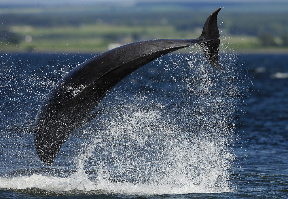An adult Bottlenose Dolphin (Tursiops truncatus) breaches sideways almost completing a cartwheel. - 930-98