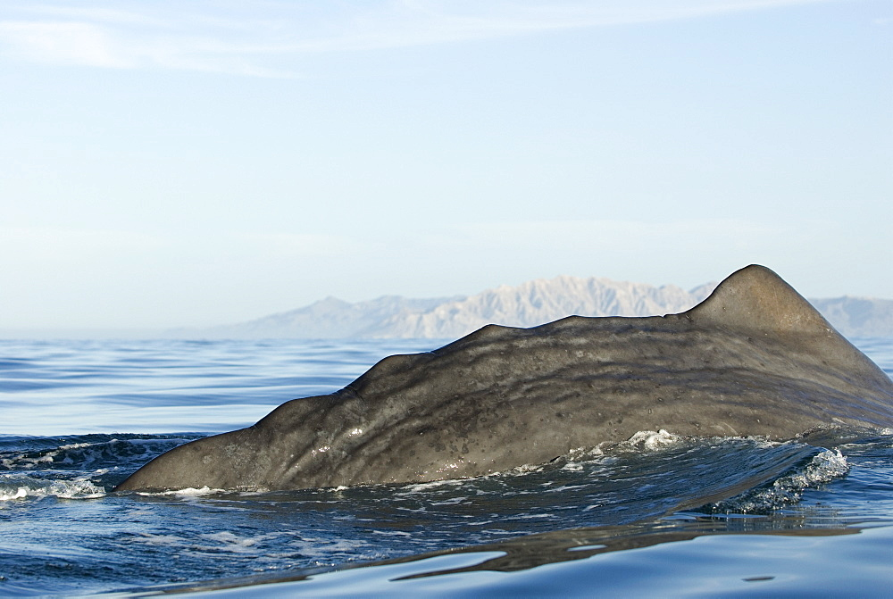 """Sperm whale(physeter macrocephalus) Gulf of California. The tail stock """"knuckles"""" of an old sperm whale."""