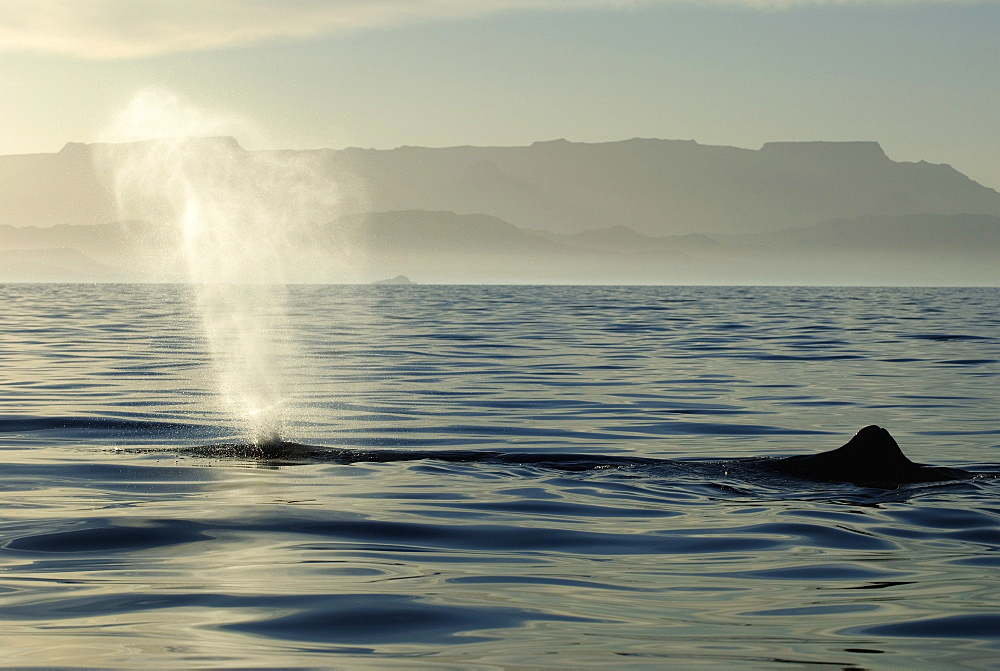 Sperm whale(physeter macrocephalus) Gulf of California.A resting sperm whale blows into the setting sun.