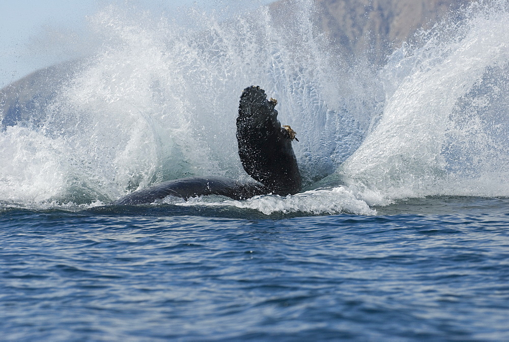 Humpback whale (megaptera novaeangliae) Gulf of California.The splash made by a breaching humpback. - 931-192