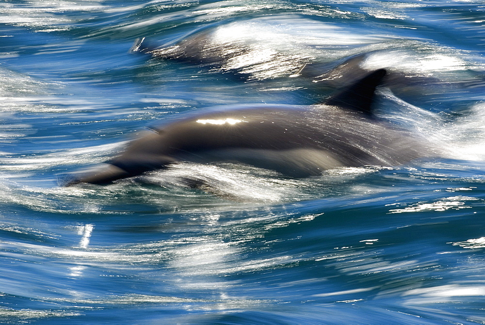 Common dolphins (delphinus delphis) Gulf of California.The watery world of dolphins.