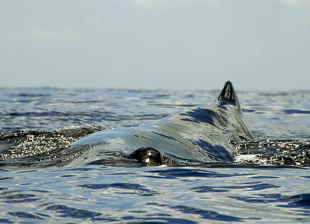 Sperm whale (Physeter macrocephalus) Caribbean.