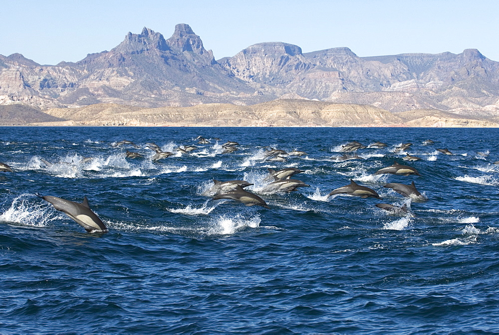 Common dolphin (delphinus delphis) Gulf of California.A group of common dolphins in a hurry. - 931-225