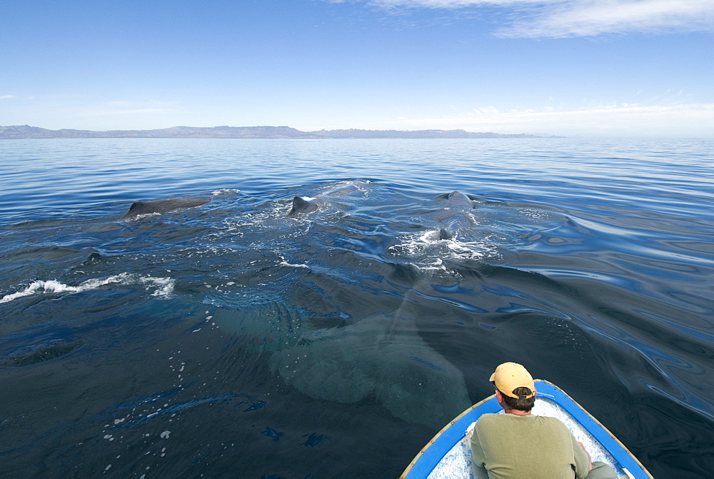 Sperm whale (physeter macrocephalus) Gulf of California. A close up view of sperm whales.