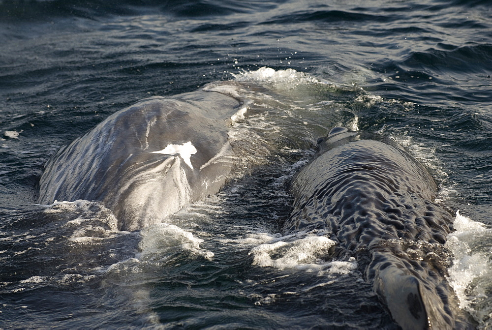 Sperm whale (physeter macrocephalus) Two socialising sperm whales butt against each other. The Gulf of California.