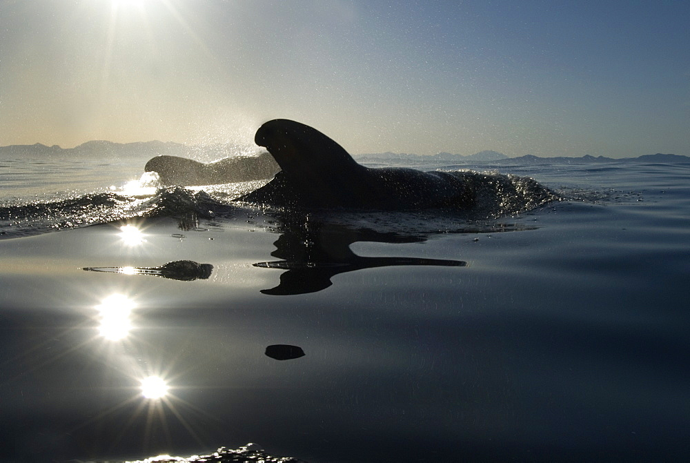 Short finned pilot whales (globicephala macrocephalus) Pilot whal  sin the low light of dawn.  Gulf of California. - 931-358