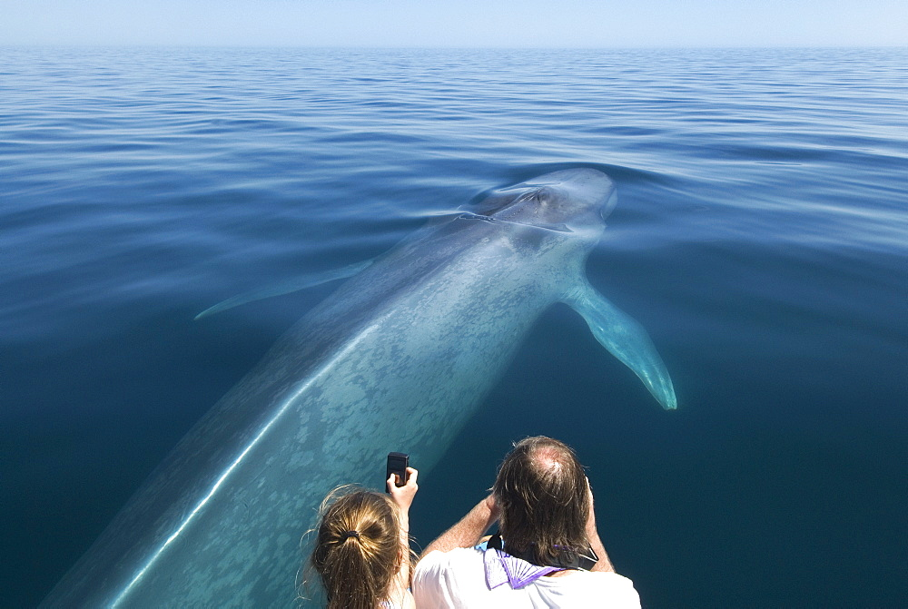 Blue whale (balaenoptera musculus) A blue whale being photgraphed with a variety of device. Gulf of California. - 931-363