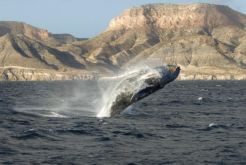 Humpback whale (megaptera novaeangliae) A breaching humpback and the coast of the Baja California peninsula. Gulf of California.