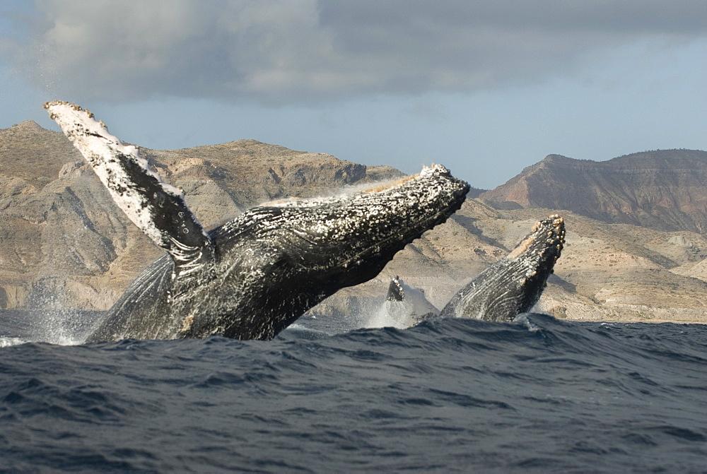 Humpback whale (megaptera novaeangliae) Two humpbacks breach in a big swell.  Gulf of California. - 931-384