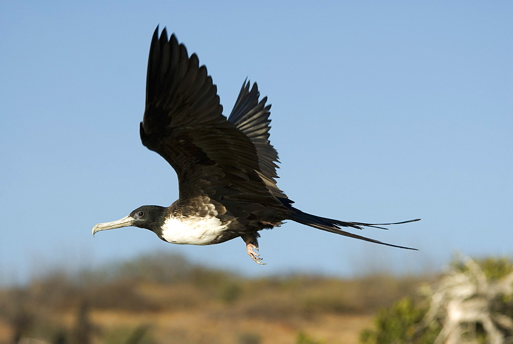 Magnificent frigat bird (fregata magnificens ) A female frigate bird in flight. Gulf of California.