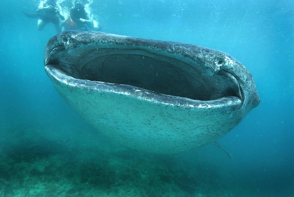 Whale Shark (Rhincodon typus). Gulf of California.