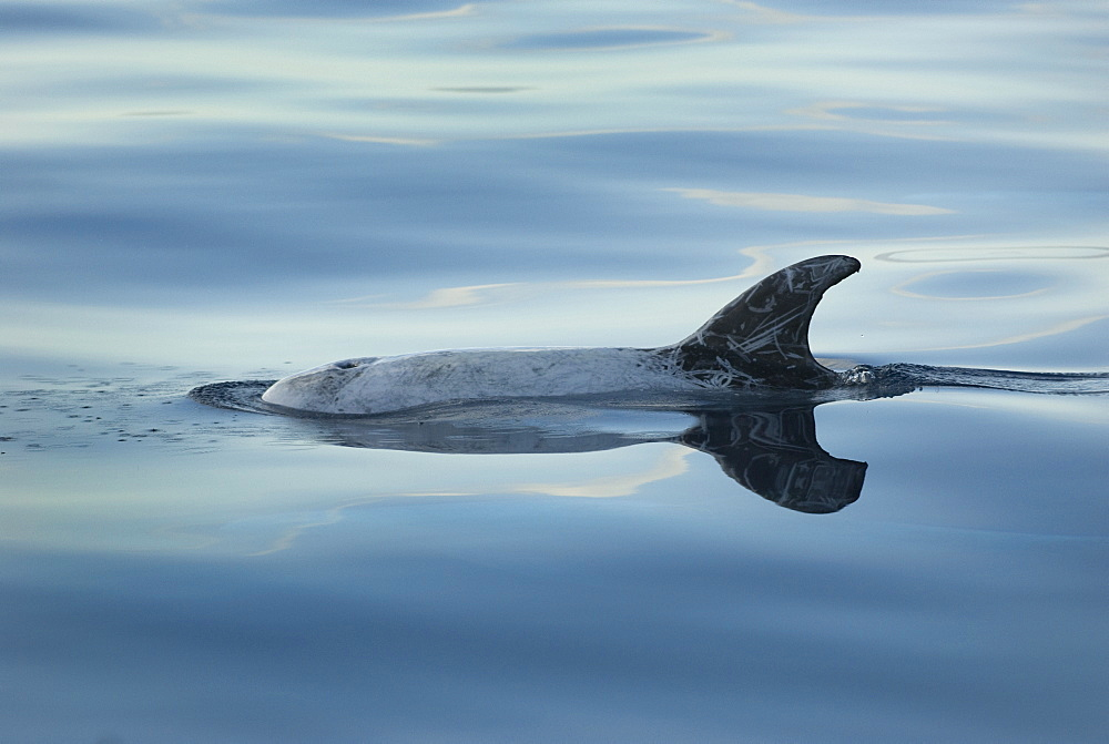 Risso's dolphins. (Grampus griseus) A Risso's dolphin with reflection. Azores.