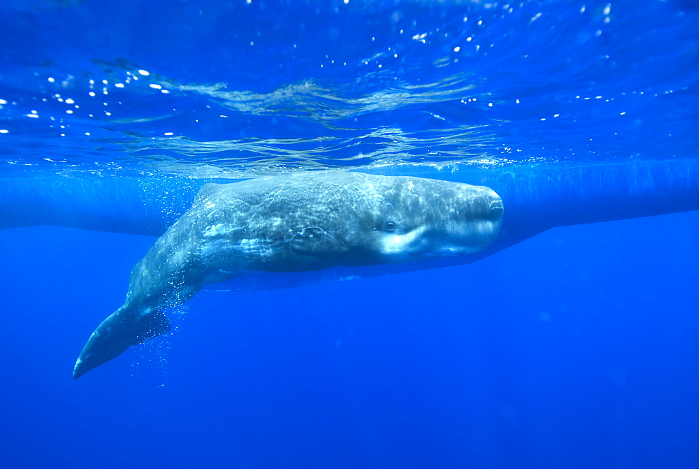 Sperm whale (physeter macrocephalus) A young sperm whale beside the hull of a yacht. Azores