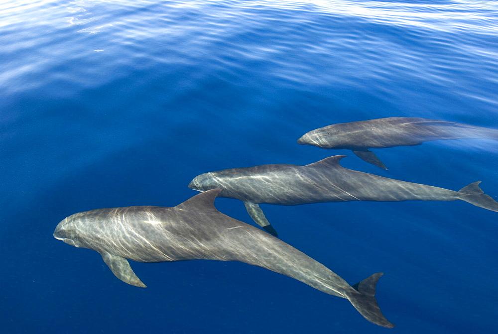 Melon headed whales (Electra dolphin).  A trio of melon headed whales in silky seas. Eastern Caribbean