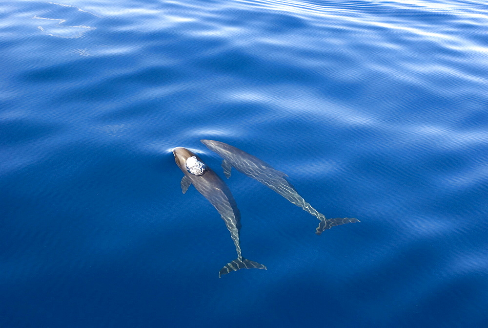 Melon headed whales (Electra dolphin)  . A melon headed whale blowing bubbles. Eastern Caribbean