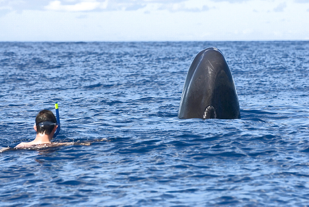 Sperm whale (physeter macrocephalus)  . Both curious, a swimmer and a sperm whale lift their heads out of the water before approaching each other. Eastern Caribbean