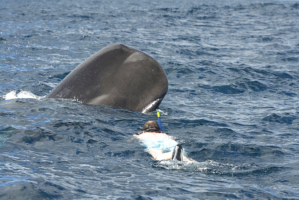 Sperm whale (physeter macrocephalus). A snorkeller and a sperm whale. Eastern Caribbean