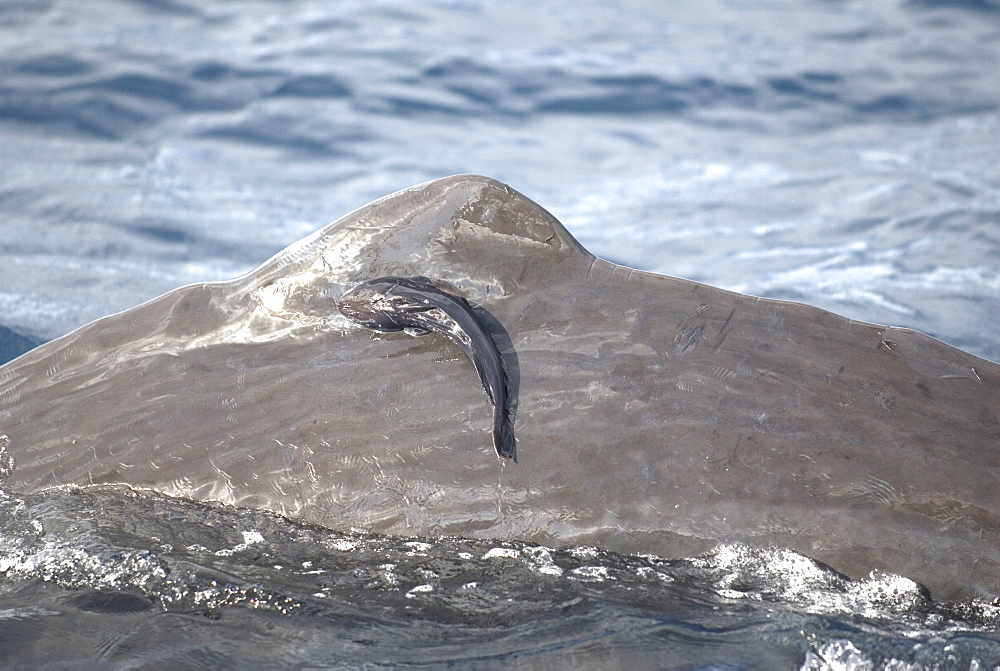 Sperm whale (physeter macrocephalus)  . A close up view of remora on a sperm whale.  Eastern Caribbean