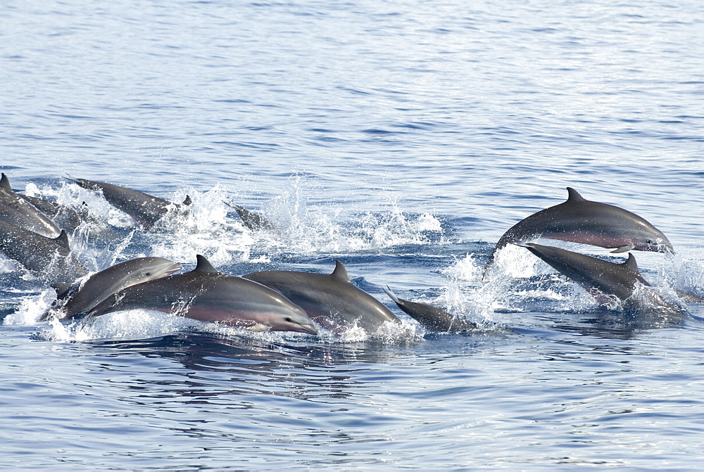Fraser's dolphin (Lagenodelphis hosei)   Tightly bunched Fraser's dolphins traveling at speed. Eastern Caribbean - 931-529