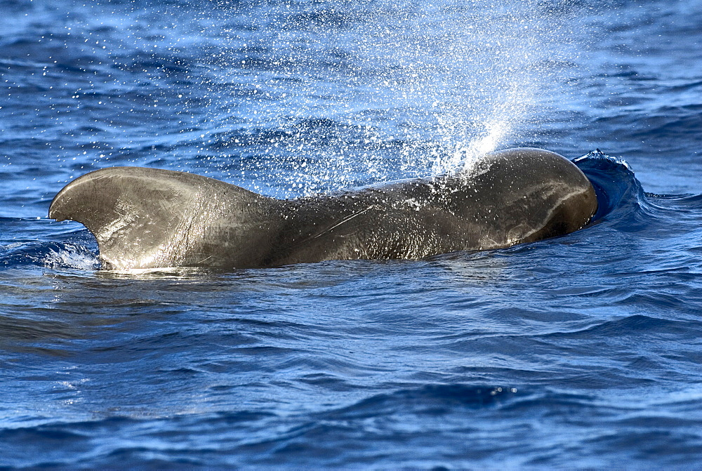 Short finned pilot whale (globicephala macrorhynchus).The typically deep fin and blunt head of a pilot whale. Eastern Caribbean