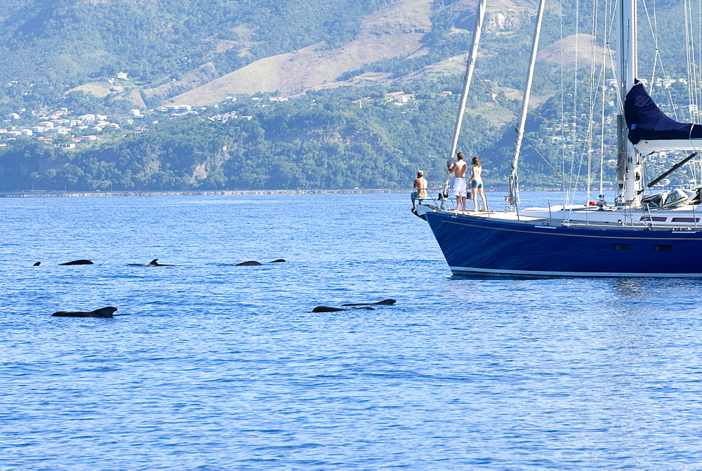 Short finned pilot whale (globicephala macrorhynchus). A passing yacht stops to watch a group of pilot whales. Eastern Caribbean