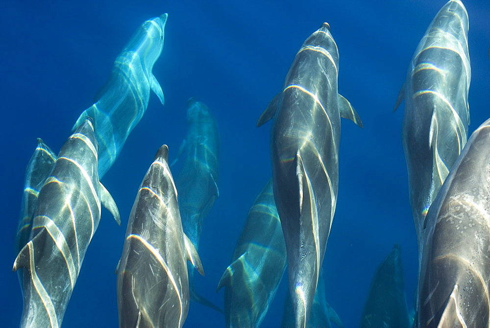 Bottlenose dolphin (Tursiops truncatus) bowriding dolphins illuminated by the sun, Azores, Portugal, Atlantic, Europe - 931-551
