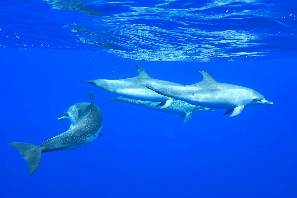 Spotted dolphin (Stenella frontalis) underwater, Azores, Portugal, Atlantic, Europe - 931-563