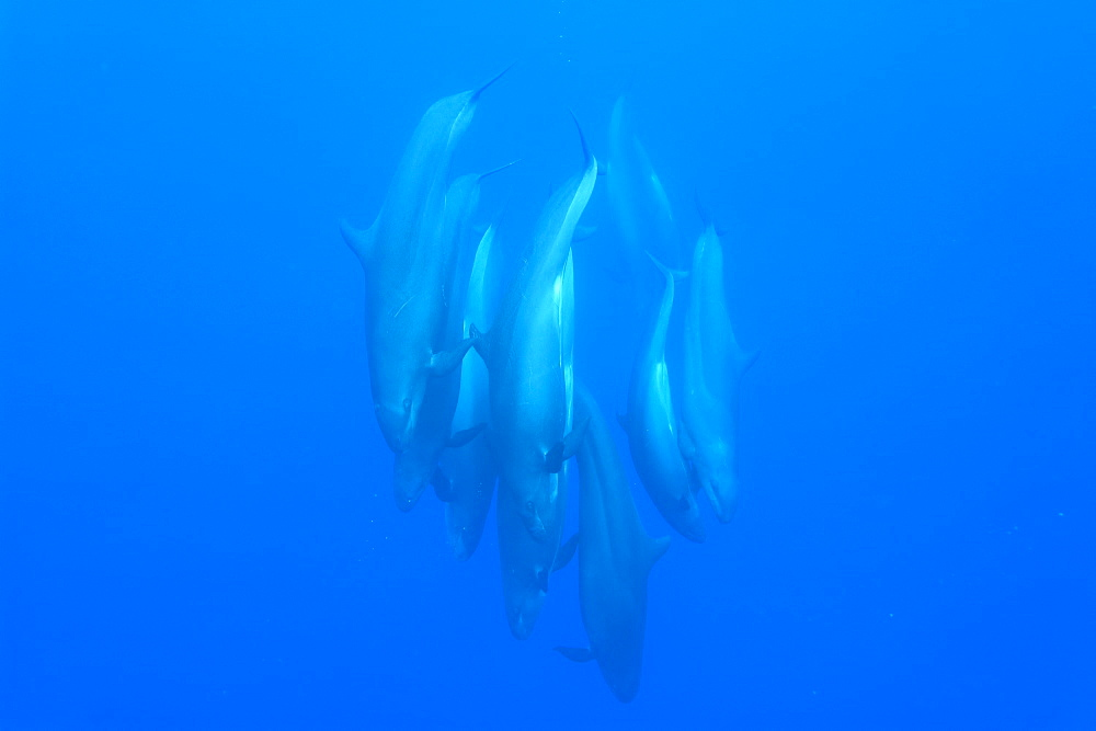 False killer whales (Pseudorca crassidens) tightly bunched group diving vertically, Azores, Portugal, Atlantic, Europe - 931-566