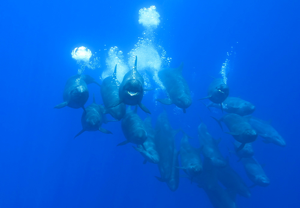 False killer whales (Pseudorca crassidens) tightly bunched  group streaming bubbles, Azores, Portugal, Europe - 931-567