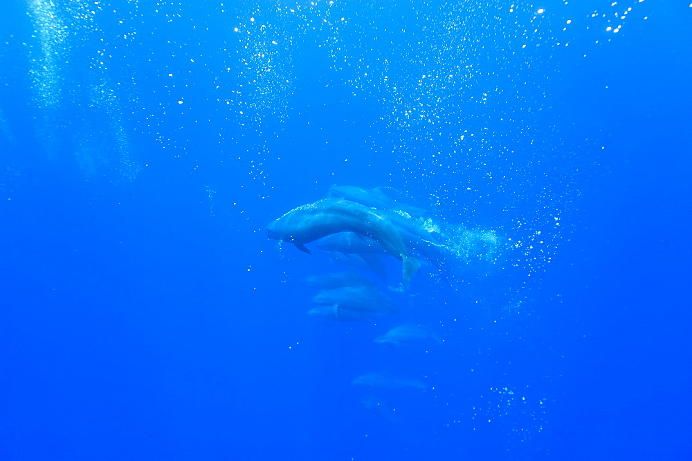 False killer whales (Pseudorca crassidens) tightly bunched in a sea full of bubbles that they have created, Azores, Portugal, Atlantic, Europe - 931-568