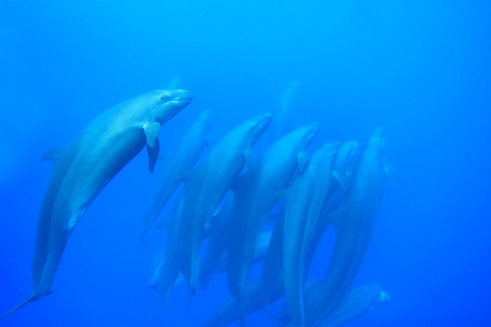 Group of tightly bunched false killer whales (Pseudorca crassidens), Azores, Portugal, Atlantic, Europe - 931-569