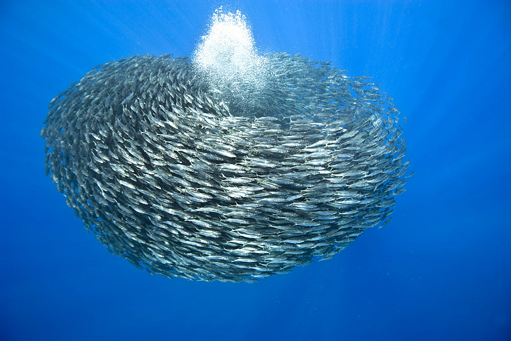 Ball of blue jack mackerel (Trachurus picturatus), Azores, Portugal, Atlantic, Europe - 931-578