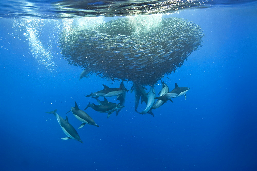 Common dolphins (Delphinus delphis) preying on blue jack mackerel (Trachurus picturatus), Azores, Portugal, Atlantic, Europe - 931-582