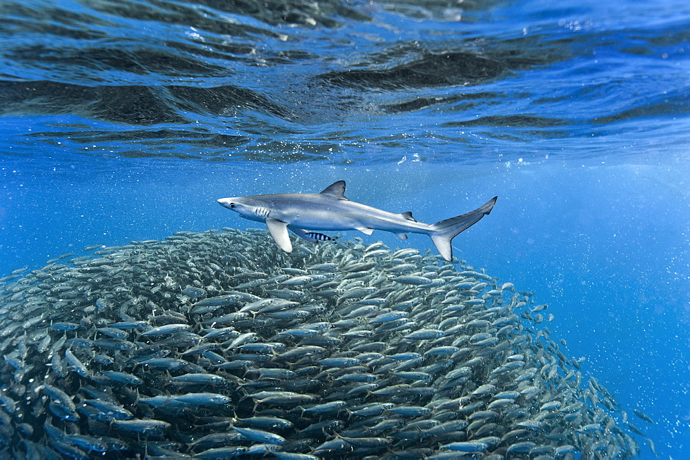 Shark thought to be a tope with a zebra fish in attendance passes a large ball of blue jack mackerel (Trachurus picturatus) mid ocean, Azores, Portugal, Atlantic, Europe - 931-590