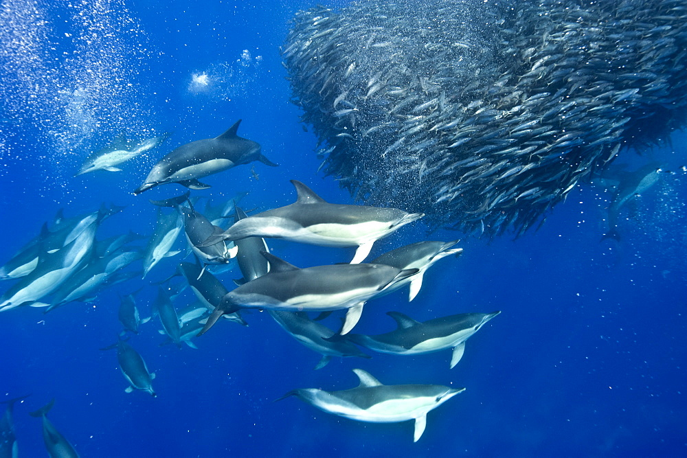 Common dolphins (Delphinus delphis) preying on blue jack mackerel (Trachurus picturatus), Azores, Portugal, Atlantic, Europe - 931-592