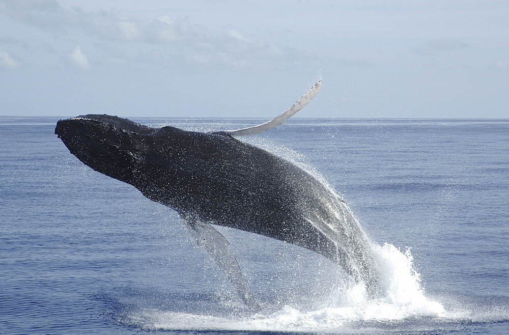 Breeching humpback whale (Megaptera novaeangliae). 
