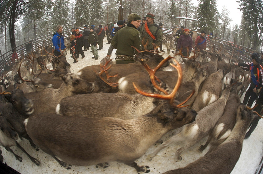 sorting out reindeer in pen before going to market