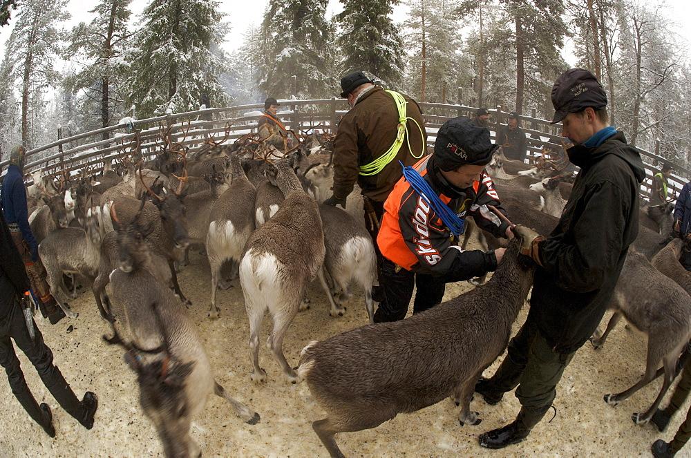 tagging reindeer