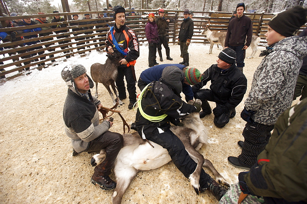 removing antlers and castrating reindeer