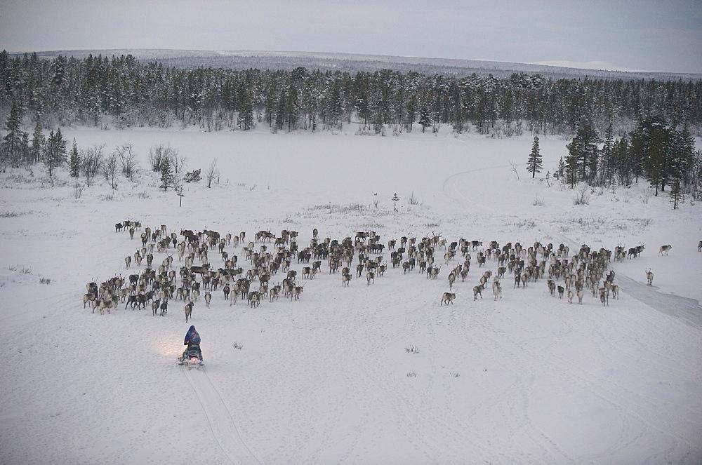 sami reindeers herdsman  hrearn reindeers in the artic circle