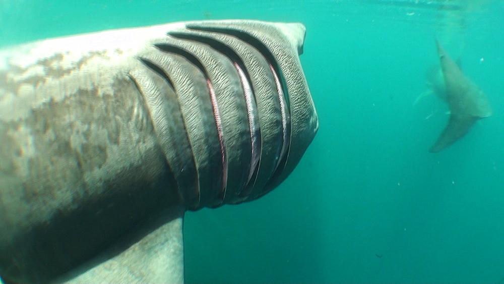 baskng shark (Cetorhinus maximus) pair, feeding. British waters. 01/06/09