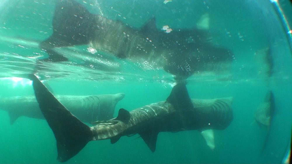 baskng shark (Cetorhinus maximus) three, feeding. British waters. 01/06/09