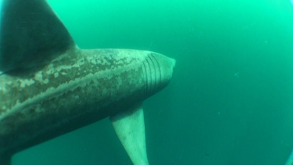 baskng shark (Cetorhinus maximus) pair, swimming. British waters. 01/06/09