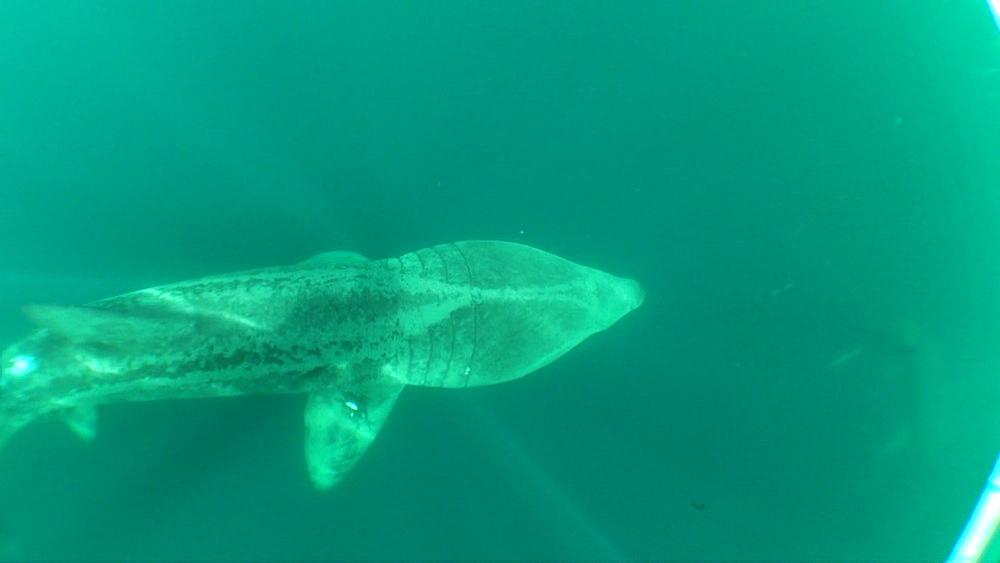 baskng shark (Cetorhinus maximus), swimming. British waters. 01/06/09