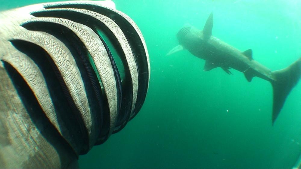 baskng shark (Cetorhinus maximus) pair, feeding. View of gill rakers. British waters. 01/06/09