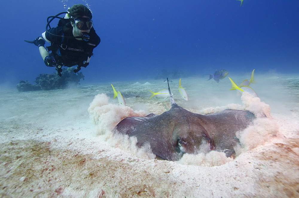 Stingray hunting for fish in the the Turks and Caicos, West Indies, Caribbean, Central America
