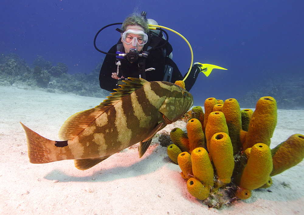 Nassau grouper with dive guide in Turks and Caicos, West Indies, Caribbean, Central America