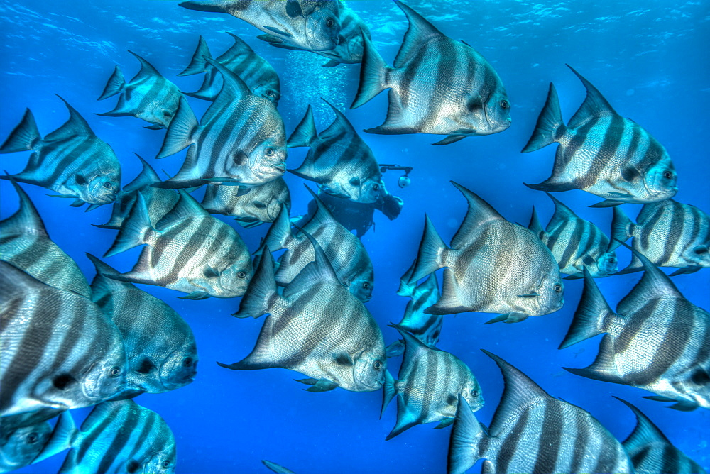 Bat fish in HDR, shot in the Turks and Caicos Islands, West Indies, Central America