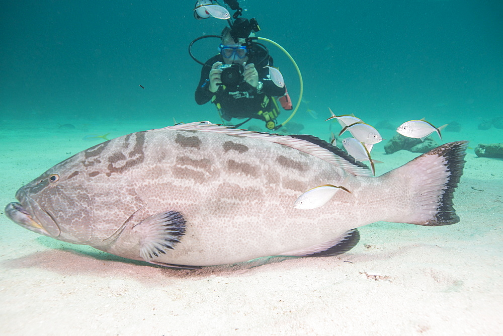 Diver photographing large grouper, Bahamas, West Indies, Central America - 934-703