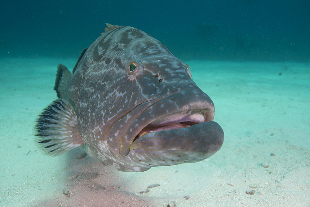 Large Nassau grouper, Bahamas, West Indies, Central America